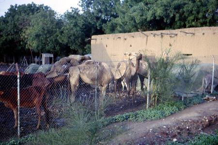 Halte de Fort-Lamy pour le reps des caravanes
