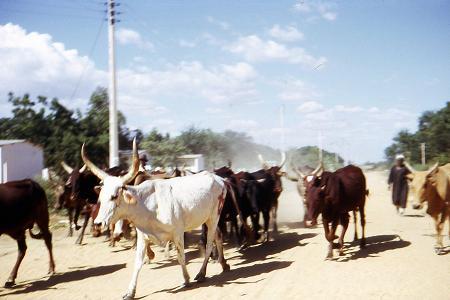 arrivée des troupeaux de zébus à l`abattoir de Fort-Lamy
