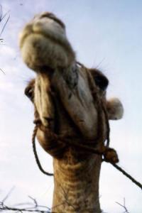 Dromadaire à la halte de Fort-Lamy