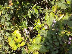 mriers en fleurs tardives