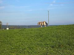 cheval ardennais